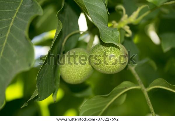 walnut on the tree green