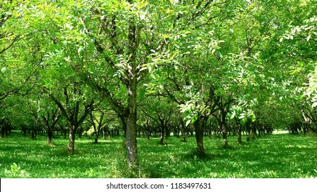 Walnut plantation in the Perigord, France