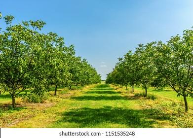walnut plantation in the sunny day