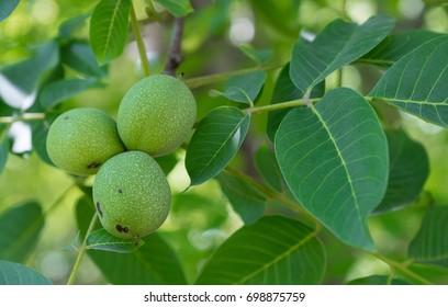 walnut, raw walnut, green walnuts,