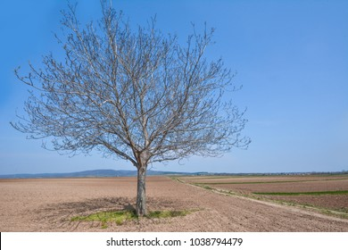 Walnut in spring