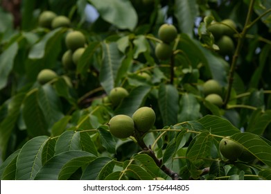 Walnut tree in the garden