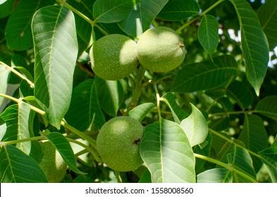 Walnut tree grows awaiting harvest.