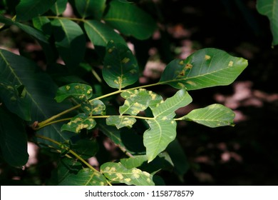 Walnut, walnut tree with leaves infested with gall, gall mite