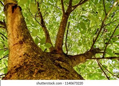 walnut tree in the summer