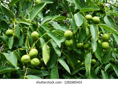 walnut tree texture as very nice natural background