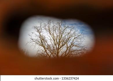 Walnut tree through a hole. Juglans regia.