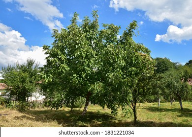 Walnut is a widespread tree in the temperate andMediterranean area,both as a spontaneous flora and in crops.It originates in the geographical area from theBalkans to the east,to theHimalayas and China