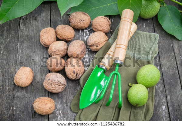 Walnuts, green nuts, leaves, gloves, spade and rake on wooden board.
