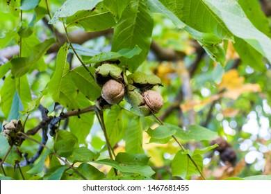 Walnuts in a green shell. Walnut tree.