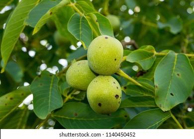 Walnuts (Juglans regia) on the tree in the orchard