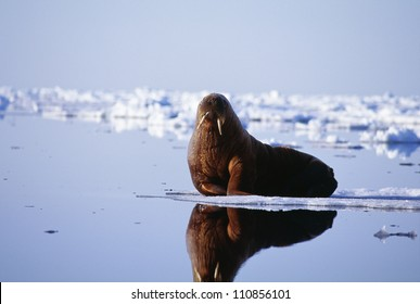 Walrus lying on beach