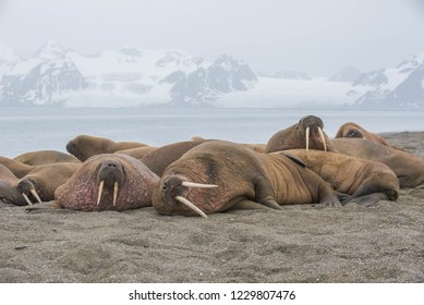 The walrus is a marine mammal, the only modern species of the walrus family, traditionally attributed to the pinniped group. One of the largest representatives of pinnipeds.