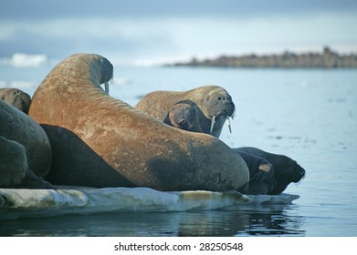 walrus in a nature