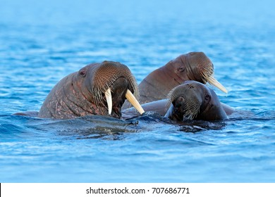 Walrus, Odobenus rosmarus, large flippered marine mammals in blue water, Svalbard, Norway. Big animal stick out from sea.