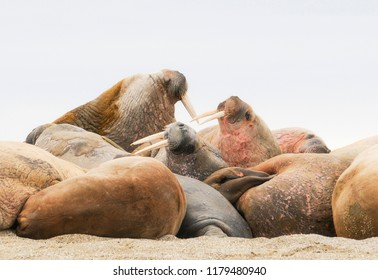 Walrus (Odobenus rosmarus) in a Mass Huddle on the Beach off the Arctic Ocean on the Coast of Spitsbergen Svalbard Archipelago in Northern Norway