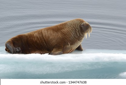 Walrus resting on an ice flow in the Arctic Ocean
