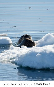 Walrus swims in the water in Arctic