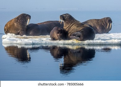 Walruses in the Arctic