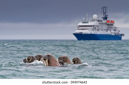 Walruses in the arctic water near Svalbard with a ship in a background