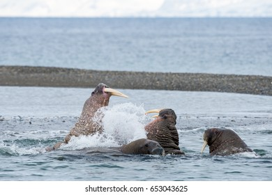 walruses fighting