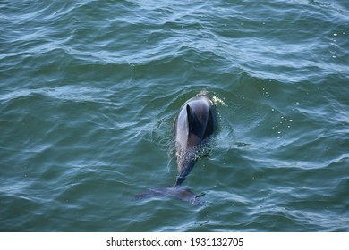 Walvis Bay, Namibia – March 05, 2021: Dusky dolphins near Pelican Point.