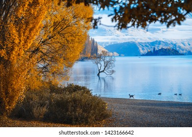 Wanaka lake with that wanaka tree in the moring , with the dog running along the shore. beutiful morning in autumn, all tree leaves turn yellow contrast with brigth blue sky.