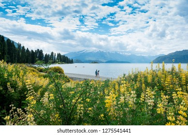 WANAKA, NEW ZEALAND - December 3, 2018: Tourist walking at the Wanaka Lake with surrounded by yellow lupines wild flowers.