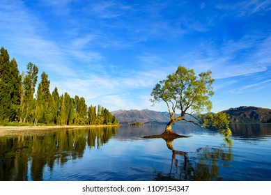 Wanaka tree with reflection in the lake, South Island, New Zealand