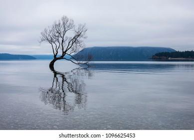 Wanaka tree in winter