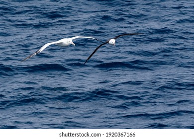 A wandering albatross flies beside a black-browed albatross in the Southern Ocean.  Focus is on the wandering albatross.