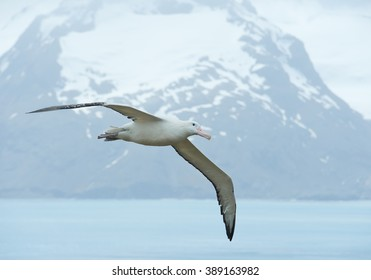 Wandering albatross flying above ocean bay,  with snowy mountains and light blue ocean in the background, South Georgia Island, Antarctica