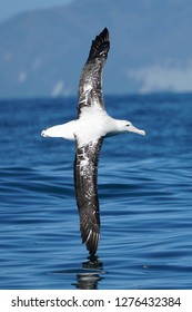 Wandering albatross flying past with its entire wingspan showing during calm seas off the coast of Kaikoura in New Zealand