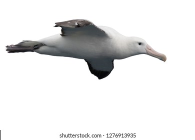 A wandering albatross isolated on a white background