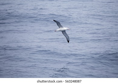 A wandering Albatross, the largest seabird in the world, glides over the ocean.