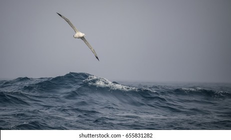 Wandering Albatross and the Longest Wingsi in the World