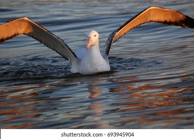 Wandering albatross in the morning light,  Kaikoura, New Zealand