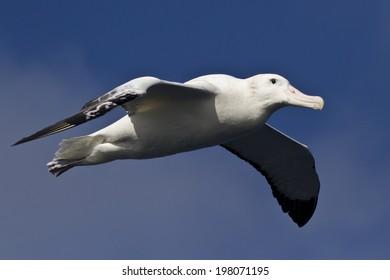 wandering albatross on a background of blue sky