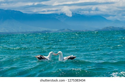 A Wandering Albatross Pair Off the Coast of New Zealand