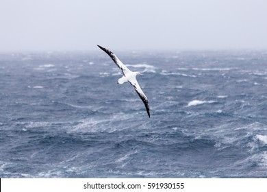 A wandering albatross at sea.
