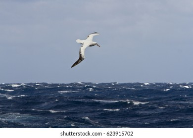 wandering Albatross(Diomedea exulans) in the southern ocean