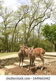 wandering deers in Osaka, Japan