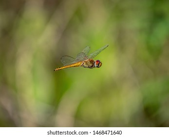 A wandering glider, Pantala flavescens, also called a globe skimmer or globe wanderer, hovers over a Japanese rice field.