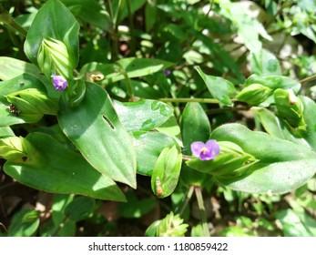 wandering Jew flower plant
