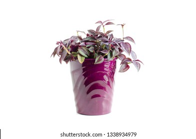 Wandering Jew houseplant tradscantia zebrina burgundy striped leaves in a purple planter pot isolated on white background.