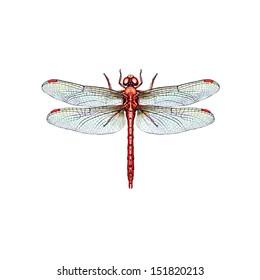 Wandering Percher Dragonfly (Diplacodes Bipunctata) belongs to the Libellulidae family.