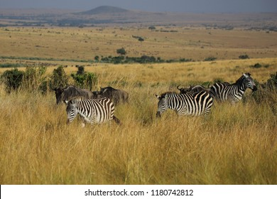 Wandering plains zebras in the Masai Mara