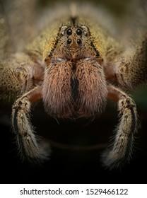Wandering Spider Brazilian Venomous Dangerous
