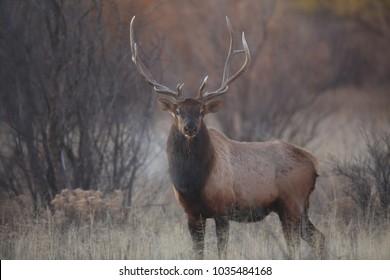 Wapiti  in Bosque del Apache National Wildlife Refuge, New Mexico