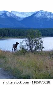 Wapiti in the canadian rockies